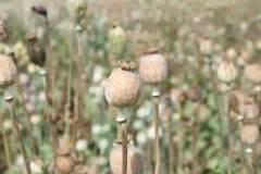 wann muss zurã ckschneiden mohn schneiden 187 f 252 r die vase oder als wintervorbereitung