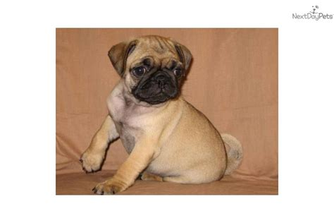 pug wrinkles meet wrinkles a pug puppy for sale for 500 akc apricot pug quot wrinkles quot
