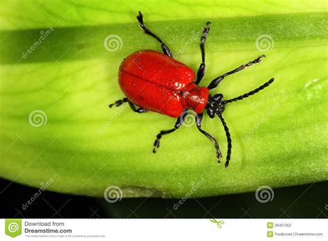 Kleine Rote Käfer Im Garten
