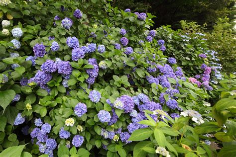 hydrangea change color how to change the color of hydrangeas 5 easy steps to follow