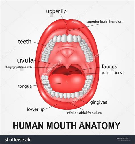 this is the interior of the inside part to the zoos i inside parts of the mouth diagram body of anatomy