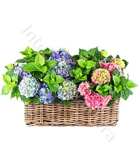 consegna di fiori a domicilio consegna fiori a domicilio cesto di ortensie
