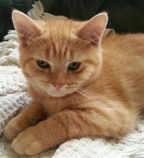 Pedigree British Short Hair Red Boy Kitten   Swansea