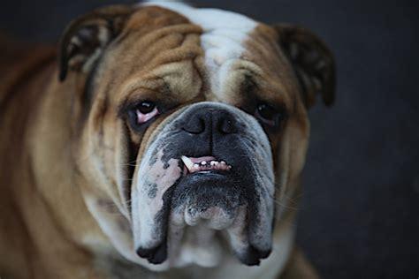 Frowning Dog Meme - quel est le caract 232 re d un bulldog anglais