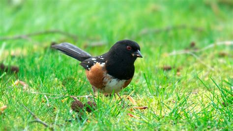 nw bird blog rufous sided towhee