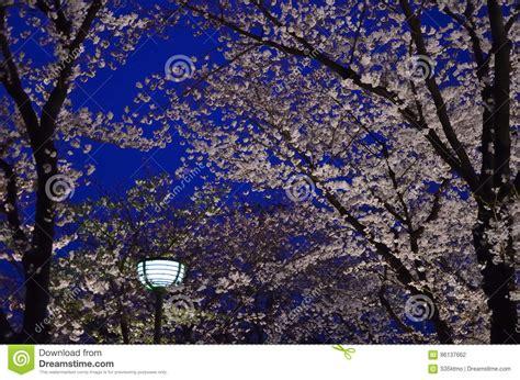 giappone in fiore notte fiore di ciliegia kyoto giappone fotografia