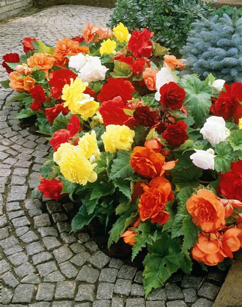 how to care for a begonia plant