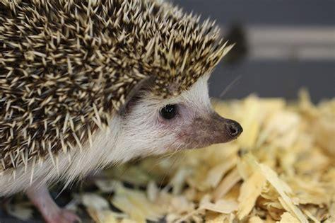best bedding for hedgehogs hedgehog bedding and litter basics petcha