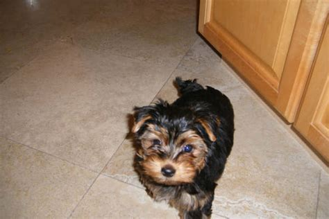 yorkie dogs for sale in baton teacup dogs for adoption baton breeds picture