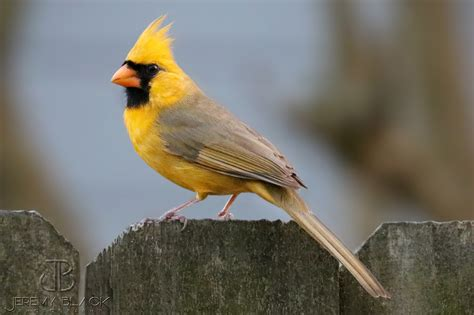 one in a million yellow cardinal spotted in alabama al com