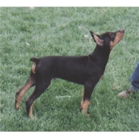 all breed puppy rescue ohio doberman pinscher rescue nj autos post