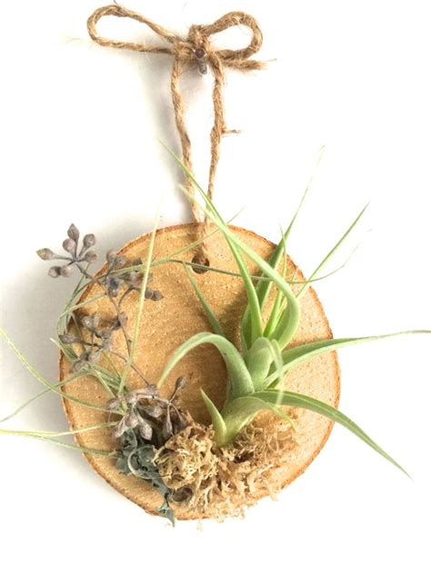 How To Decorate Your First Home by How To Care For The Lovely Air Plants That Adorn Your Home