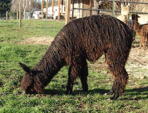 Black Sapphire Plus Alpaka d alpaca two new black suri females
