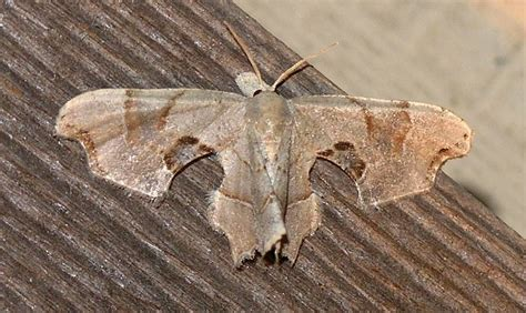 The Moth And The L by Nature In The Ozarks Arkansas Moth Brown Scoopwing