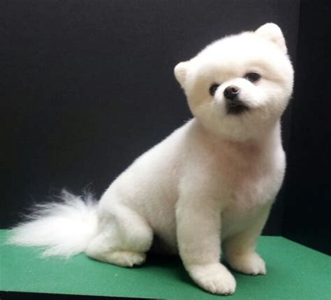how to do a teddy bear trim on a yorkshire terrier pomeranian teddy bear trim puppy cut white pomeranian
