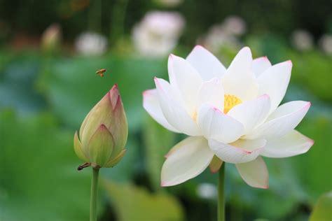 what is white lotus white lotus flower white lotus flower meaning