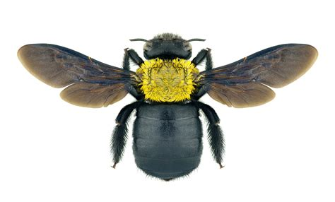 Sprei Honey Bee bee bee removal bee killer spray repellent