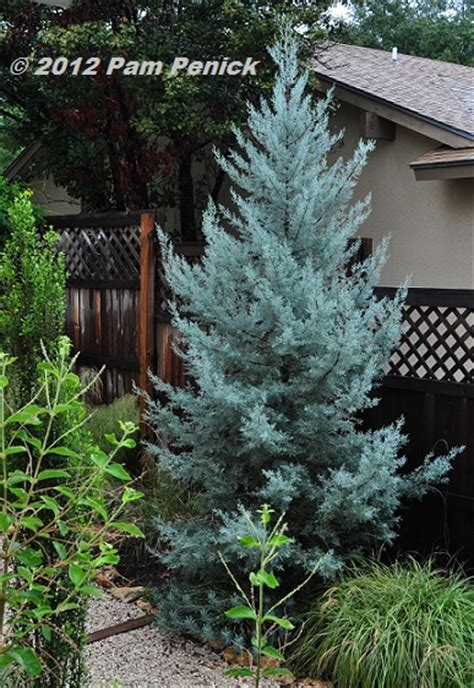 decorated blue arizona cypress august garden planning fall anticipation digging