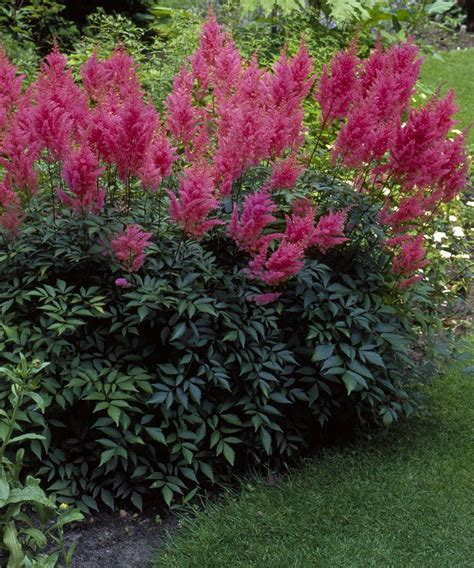 cottage farms direct amethyst astilbe set of three
