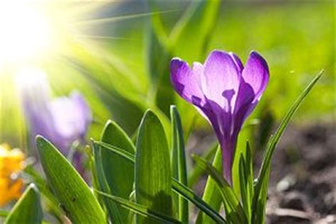 krokusse arten wann sollte krokusse pflanzen - Wann Pflanzt Krokusse