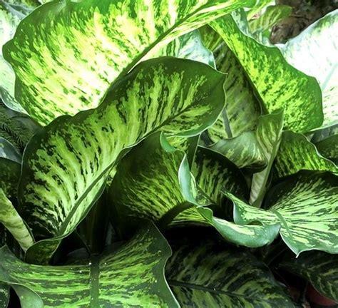 pianta verde appartamento foglie verdi piante appartamento foglie verdi appartamento