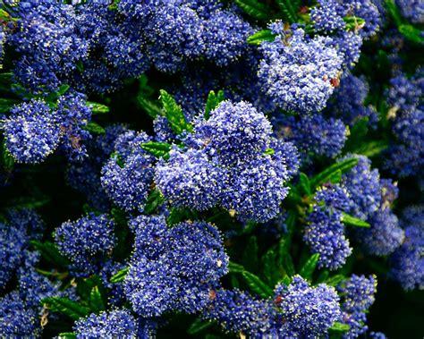 gardensonline ceanothus  blue pacific