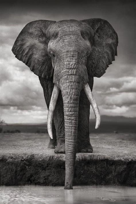 diy frame african wildlife elephant drinking gray photo