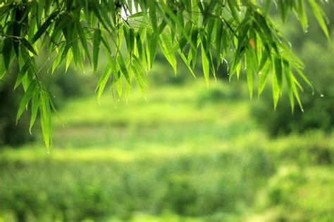 free photo the scenery bamboo wallpaper free image on