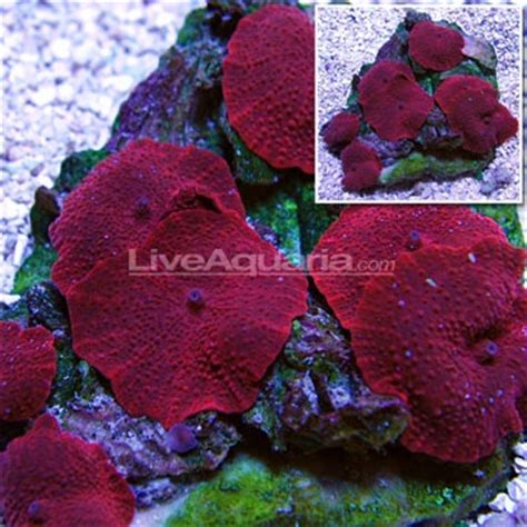 low light corals for sale 91 best images about nano reef on pinterest blue tuxedos
