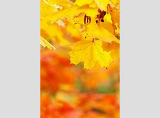 Yellow Autumn Leaves Free Stock Photo - Public Domain Pictures Yellow Abstract Background