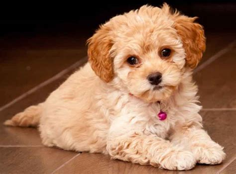 when is a puppy a is a maltipoo in your future