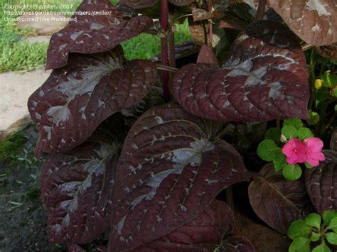 plantfiles pictures chocolate plant pseuderanthemum alatum by jtmiller