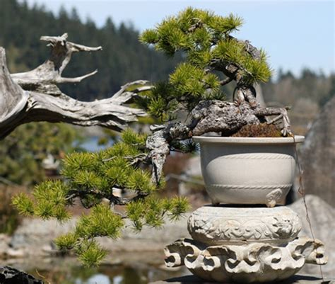 here s a thought bonsai here s a thought bonsai