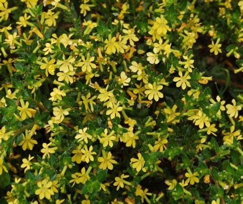 What Are The Gardening Zones - mellow yellow cuphea proven winners