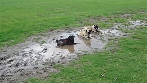 mud pug three pugs got up to mischief at park and their owner s reaction is hilarious