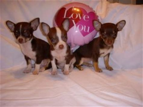 puppies for sale enterprise al chihuahua puppies in alabama