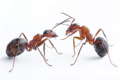 imagenes hormigas negras c 243 mo acabar con las hormigas
