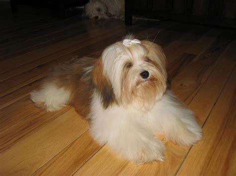havanese puppies canada sedosos havanese quality puppies in ontario canada