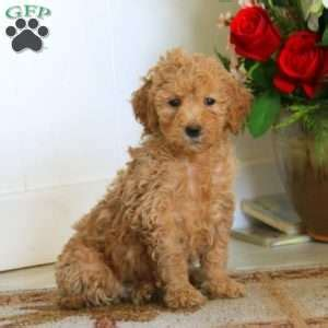 doodle name hazel ship from gfp shipping puppies greenfield puppies