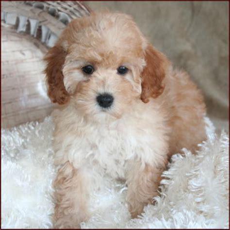 bichon poo puppies poochon bichpoo bichon poodle puppies for sale iowa