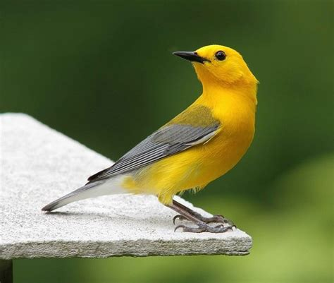 Prothonotary Search Prothonotary Warbler By Allharts Birds