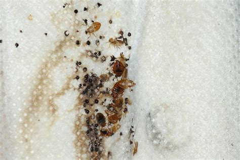 find bed bugs how to find and eliminate bed bugs networx
