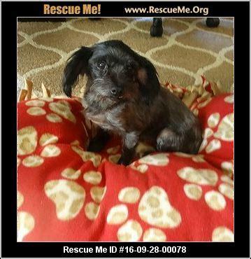 yorkie rescue ottawa kansas yorkie rescue adoptions rescueme org