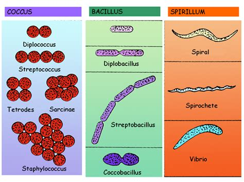 various types of bacteria eniscuola