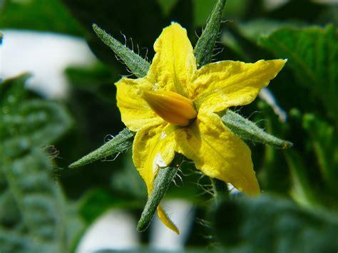 Pupuk Untuk Bunga Tomat gambar ilmu pertanian morfologi tanaman buah tomat