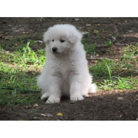 samoyed puppies for sale oregon samoyed breeders in indiana freedoglistings