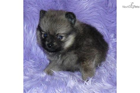 baby doll pomeranian pomeranian puppy for sale near springfield missouri de14c734 2bf1