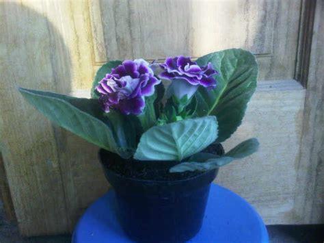 Tanaman Violces Ungu tanaman gloxinia ungu bibitbunga