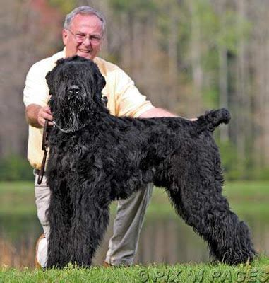 russian guard dogs black russian terrier1 10 most popular guard dogs from around the breeds picture