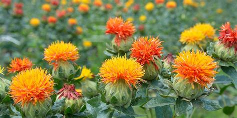 safflower oil for weight loss effects and considerations